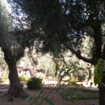 Olive Trees in the Garden of Gethsemane.