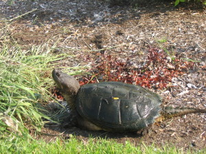 Female snapping turtle seeking a nesting site.