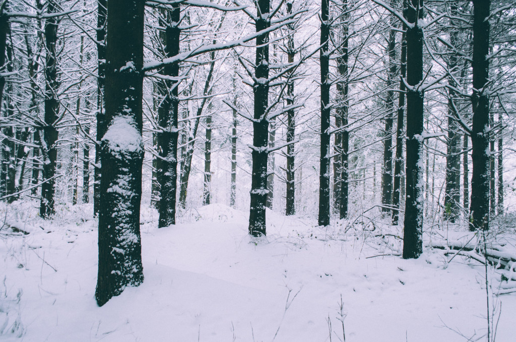 pine-tree-forest-in-winter-madison-wi