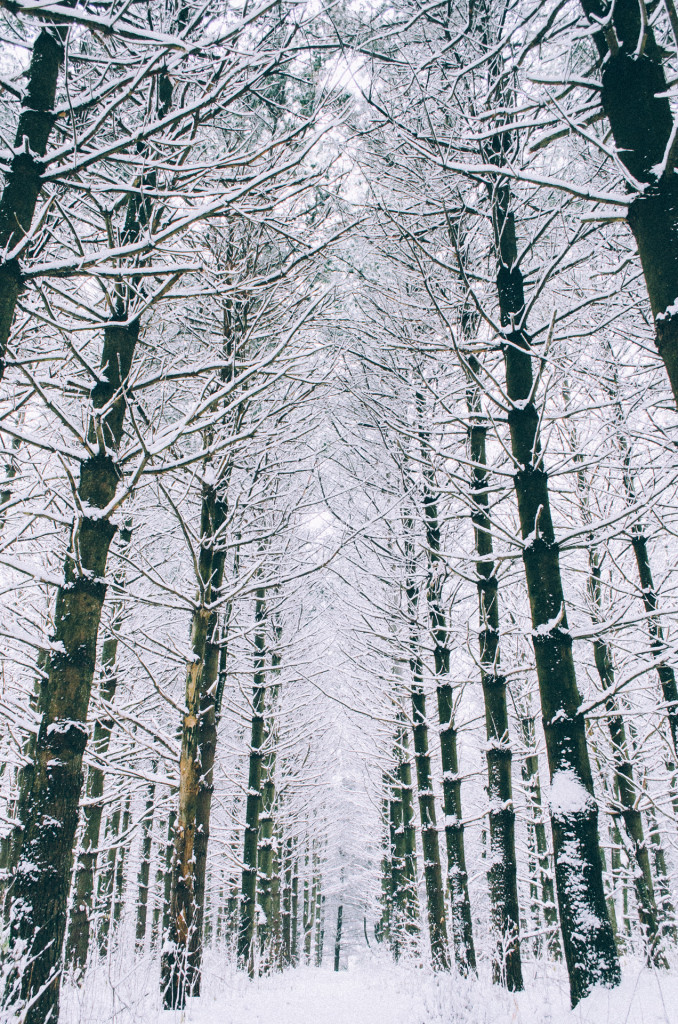 tall-pine-trees-in-winter
