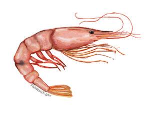 Wild Shrimp