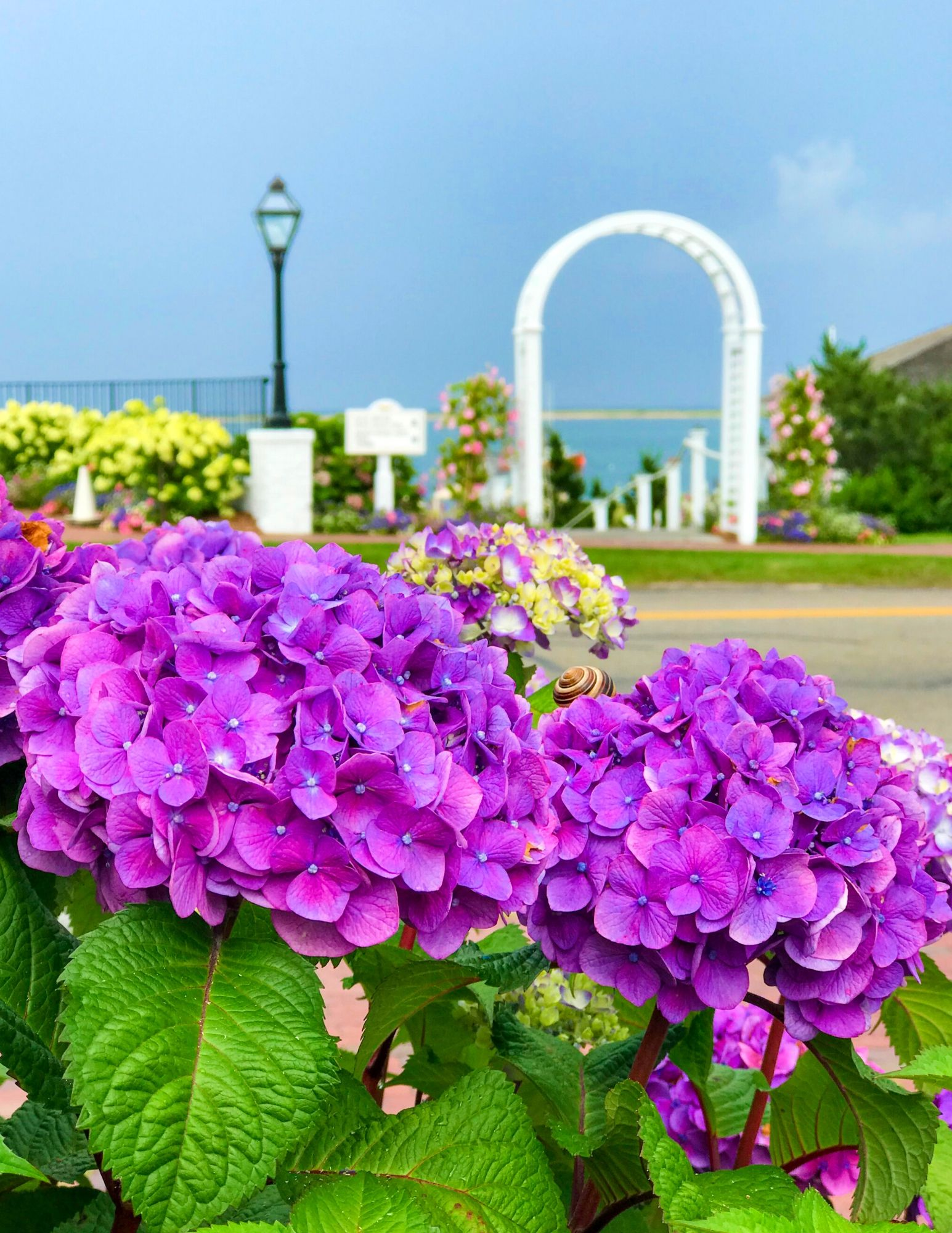 Hydrangea Tips and Tricks-11
