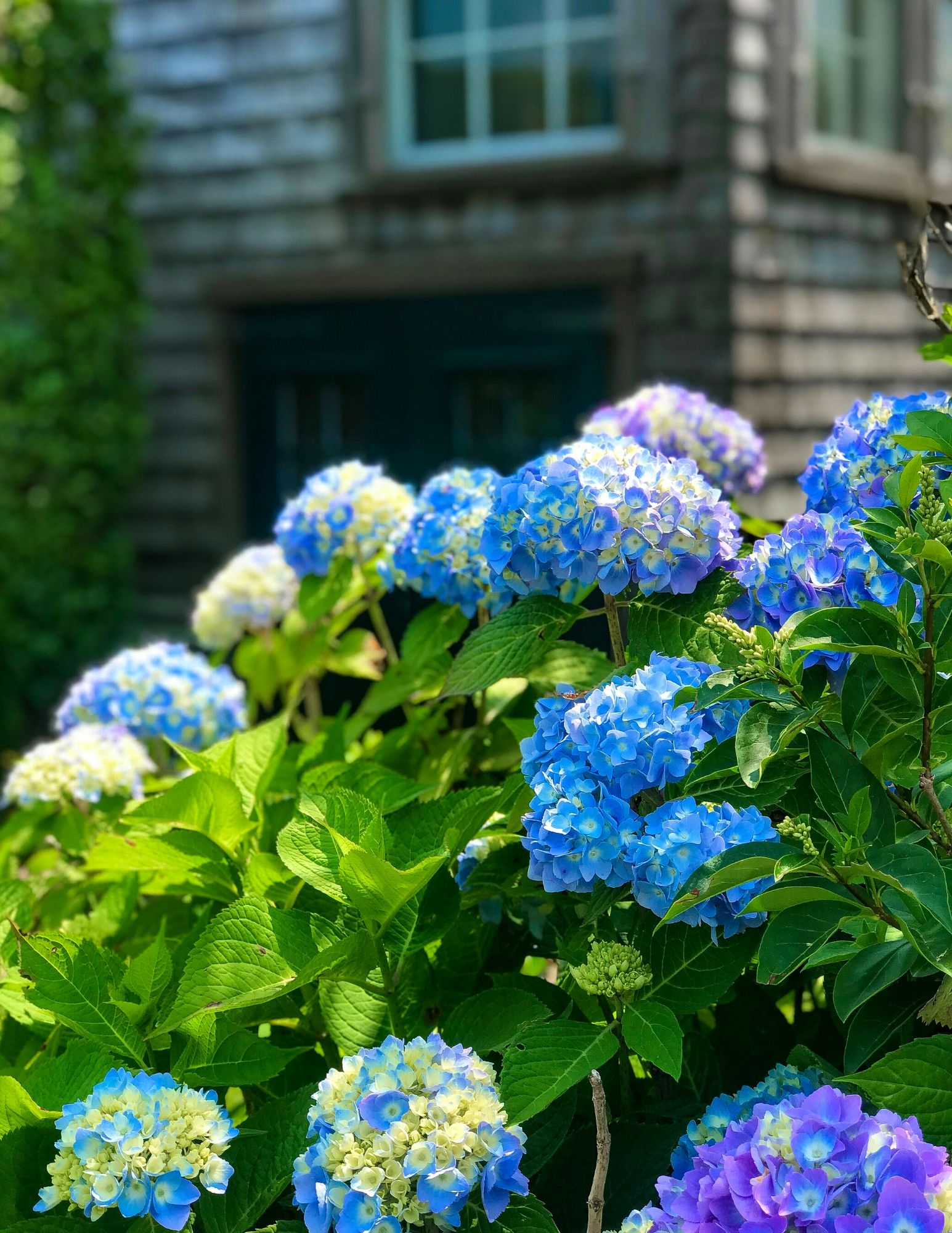 Hydrangea Tips and Tricks-14
