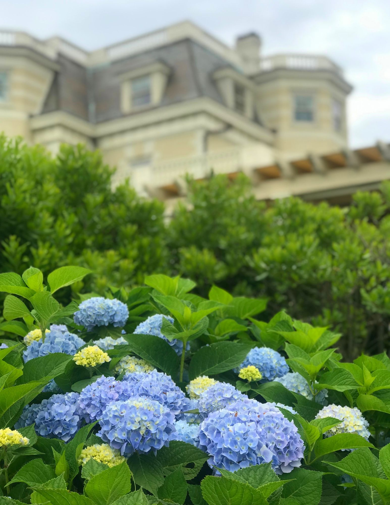 Hydrangea Tips and Tricks-16
