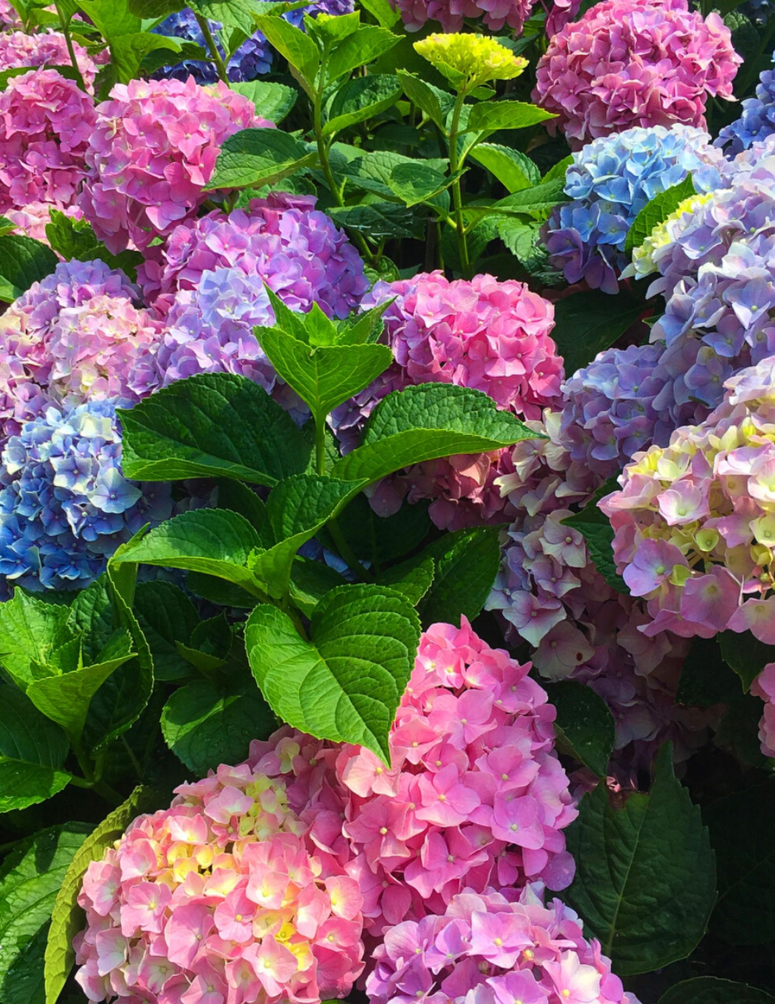 Hydrangea Tips and Tricks-3