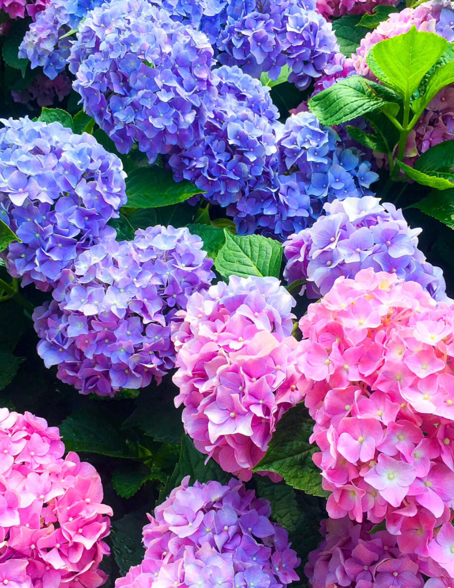 Hydrangea Tips and Tricks-4