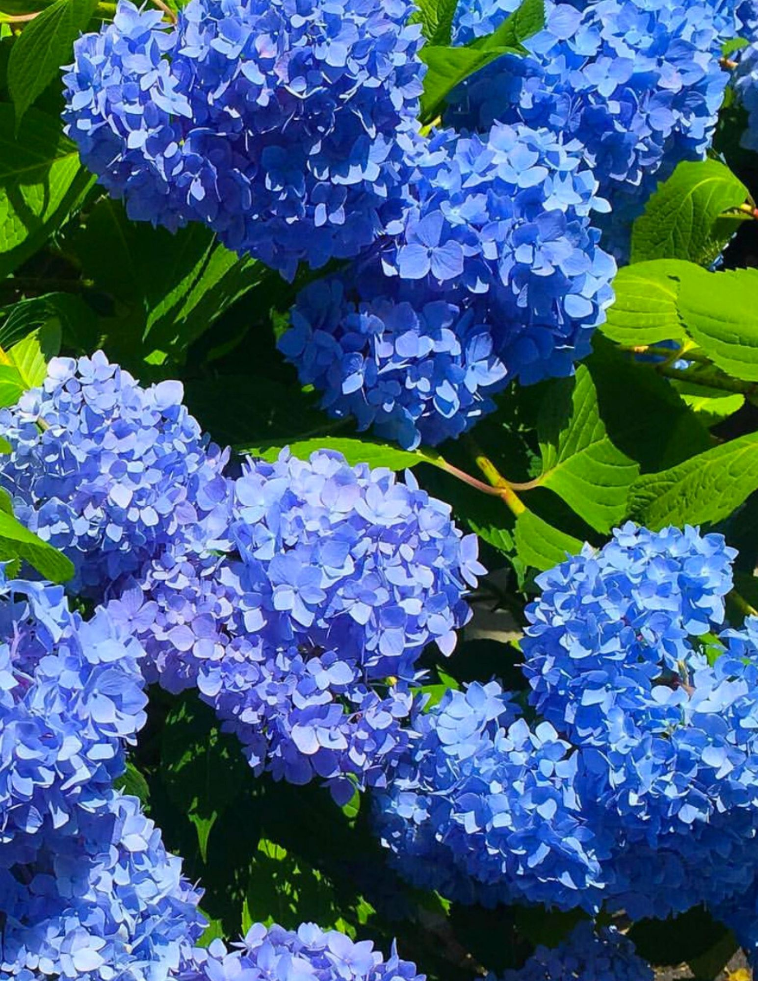 Hydrangea Tips and Tricks-5