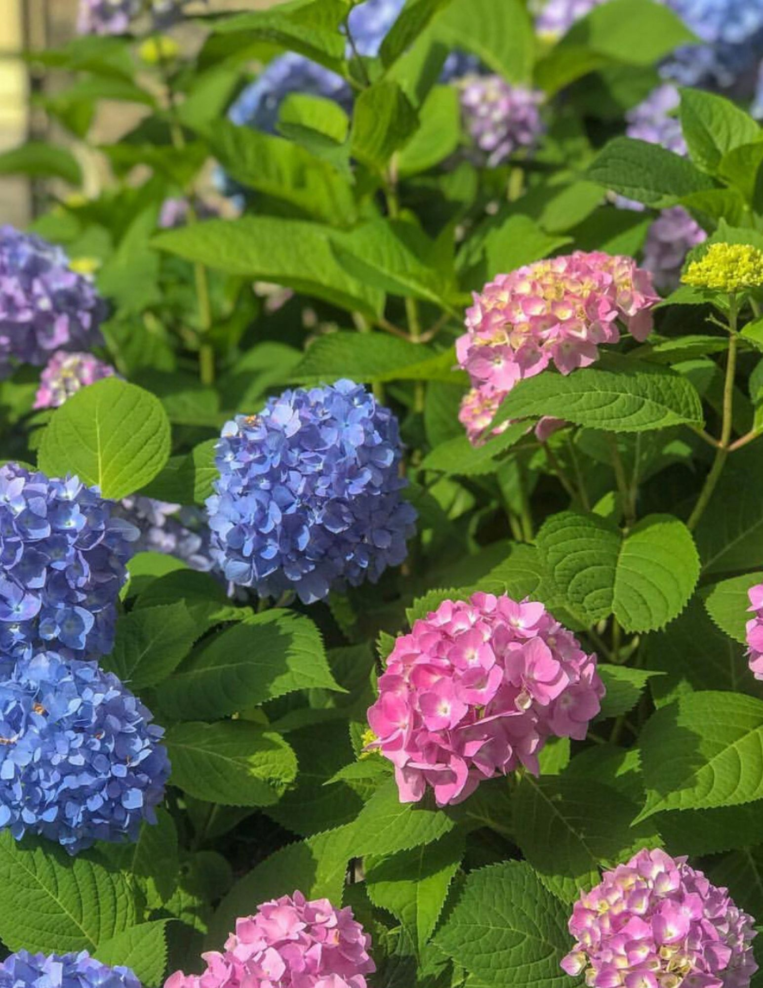 Hydrangea Tips and Tricks-6