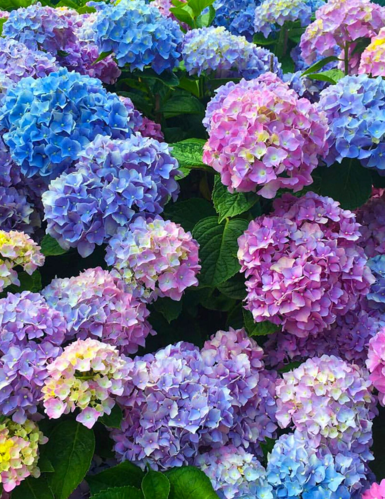 Hydrangea Tips and Tricks-7