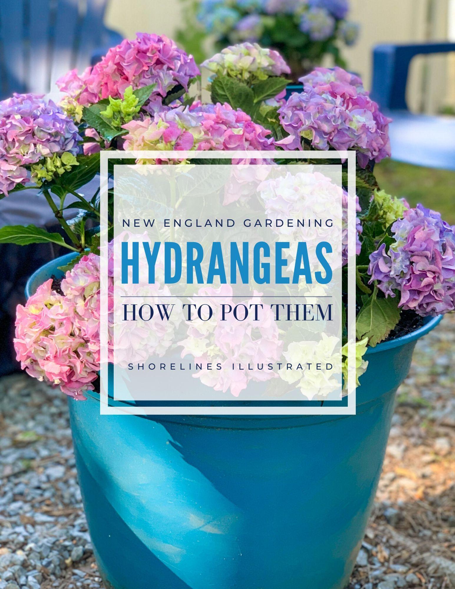 How to Plant Hydrangeas in Pots-1
