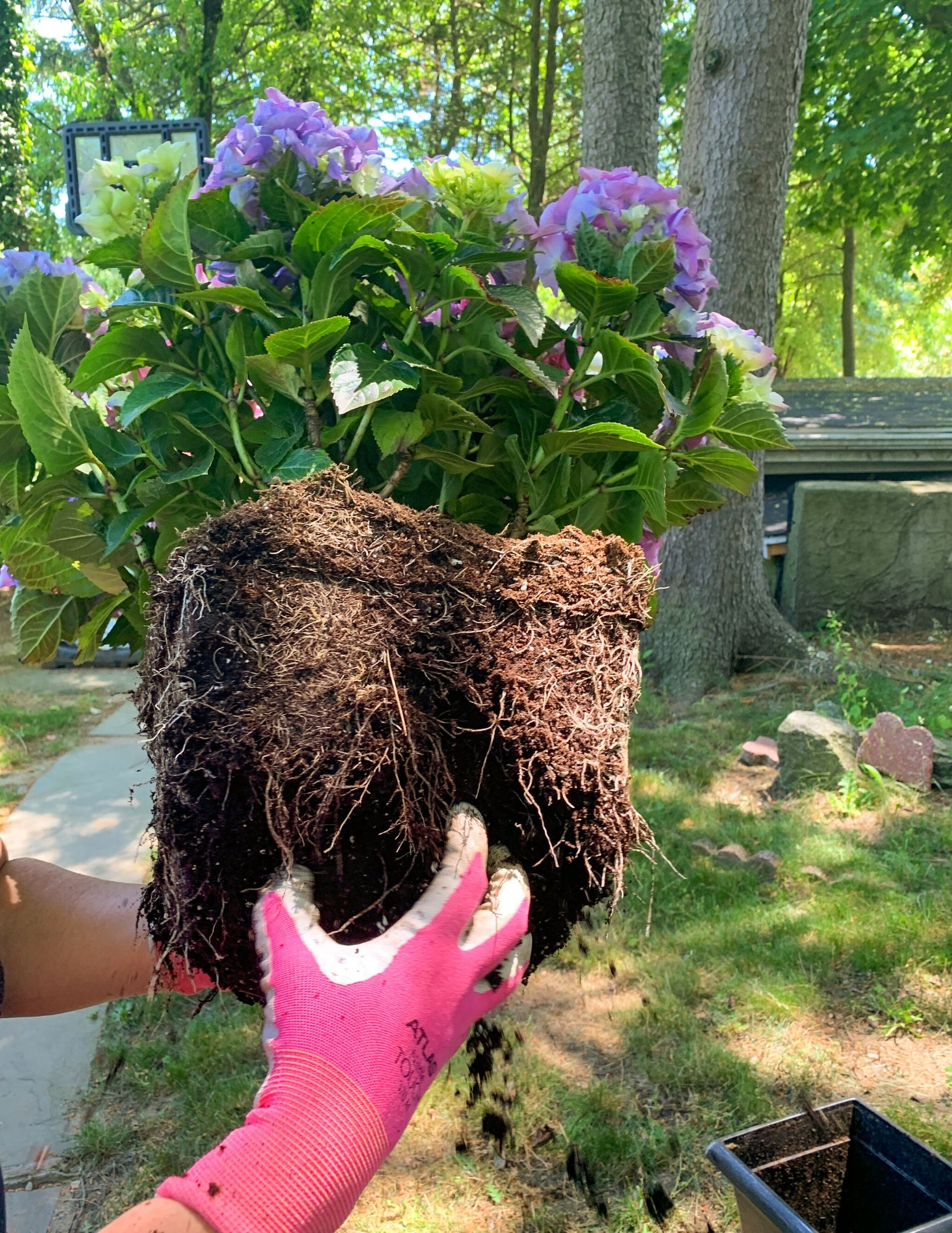 How to Plant Hydrangeas in Pots-11