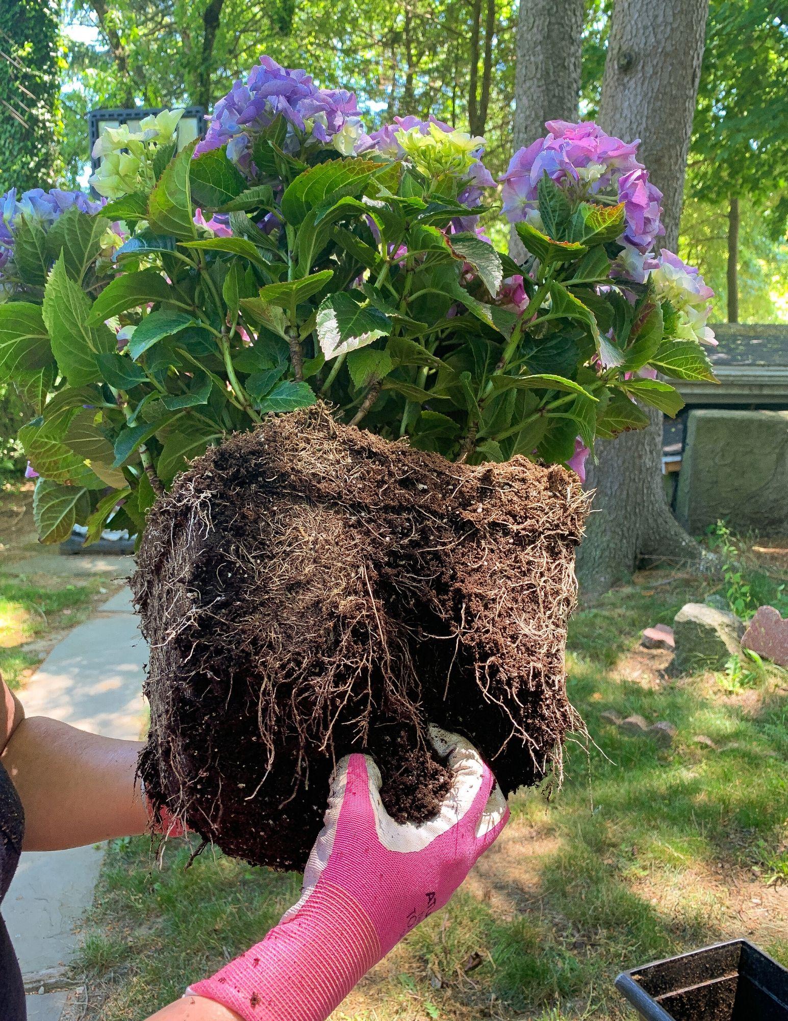 How to Plant Hydrangeas in Pots-13