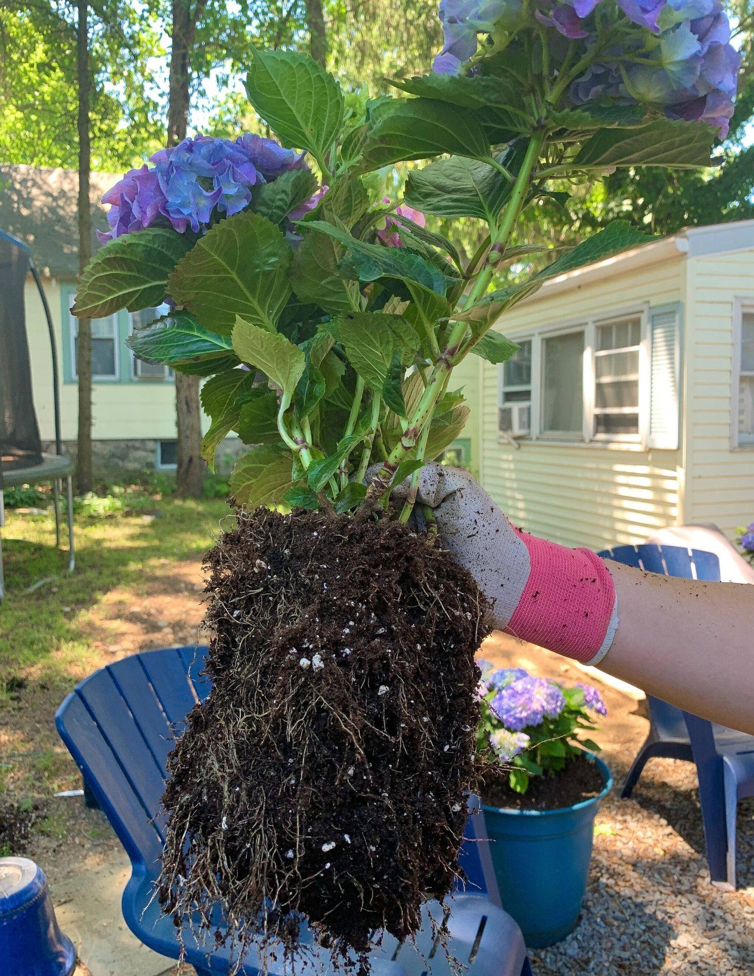 How to Plant Hydrangeas in Pots-15