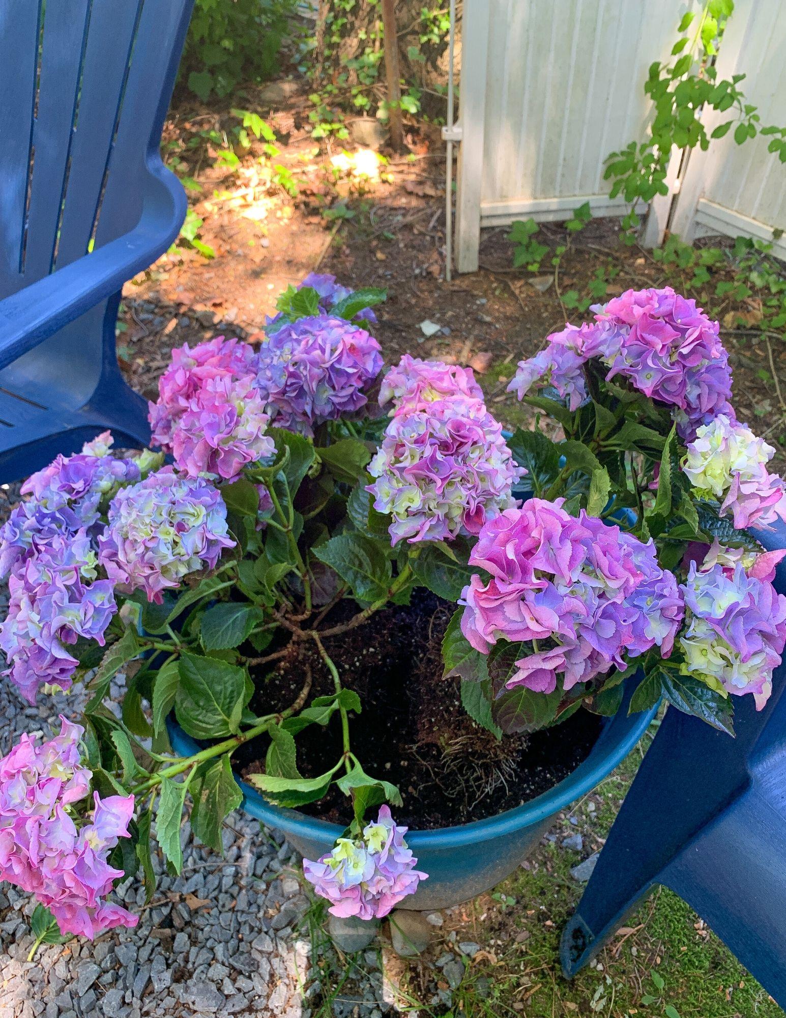 How to Plant Hydrangeas in Pots-18