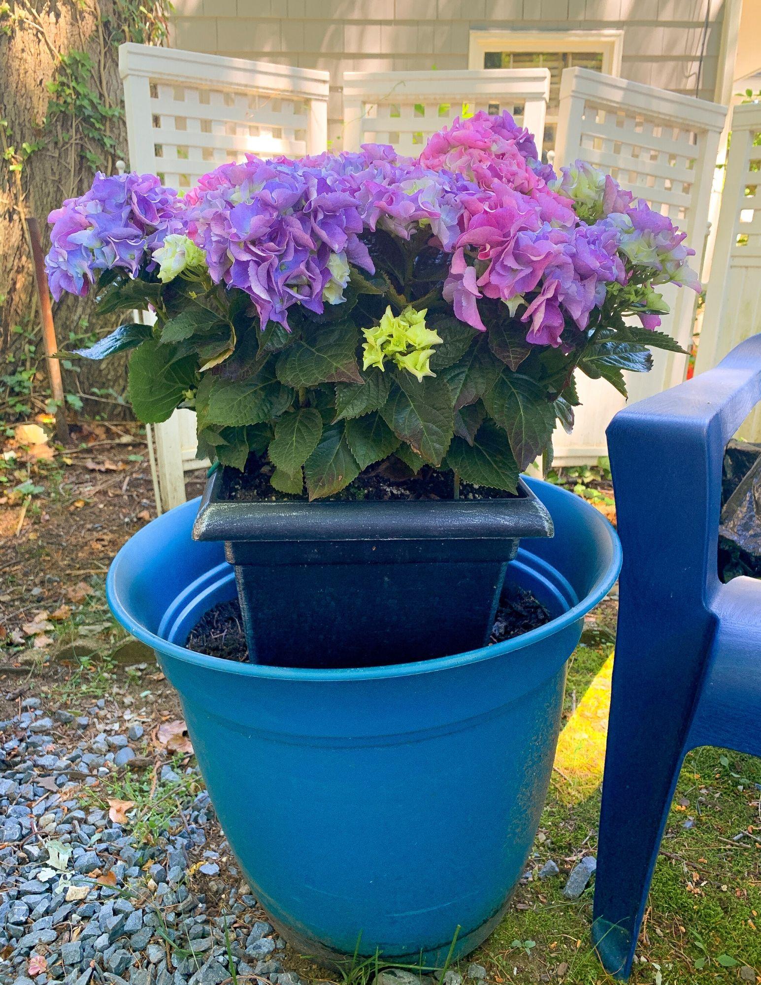 How to Plant Hydrangeas in Pots-2