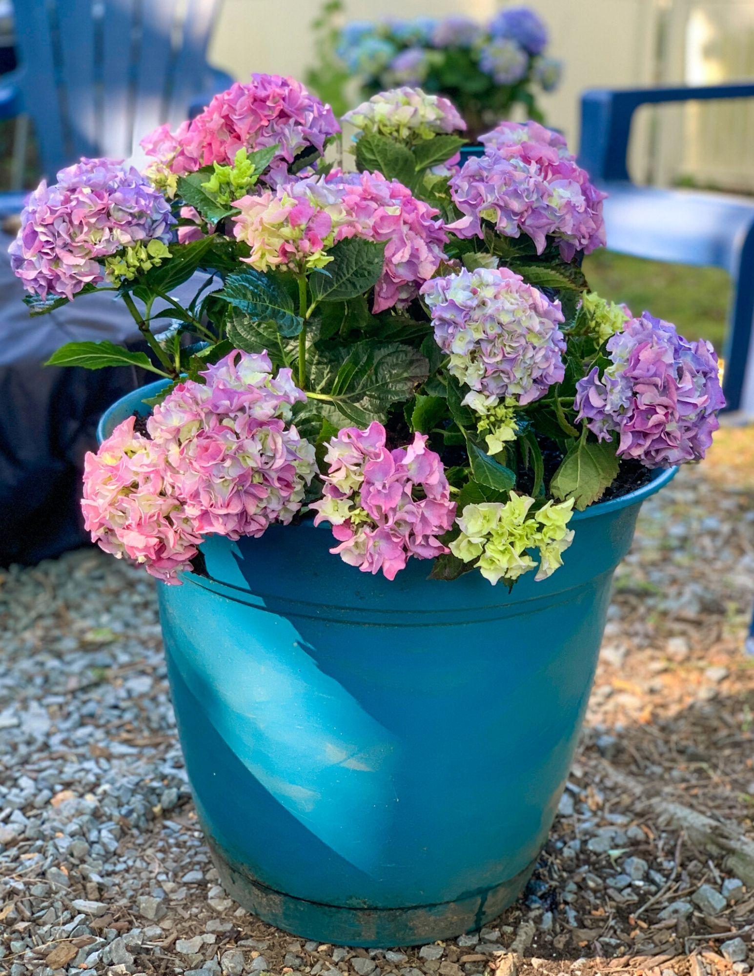 How to Plant Hydrangeas in Pots-24