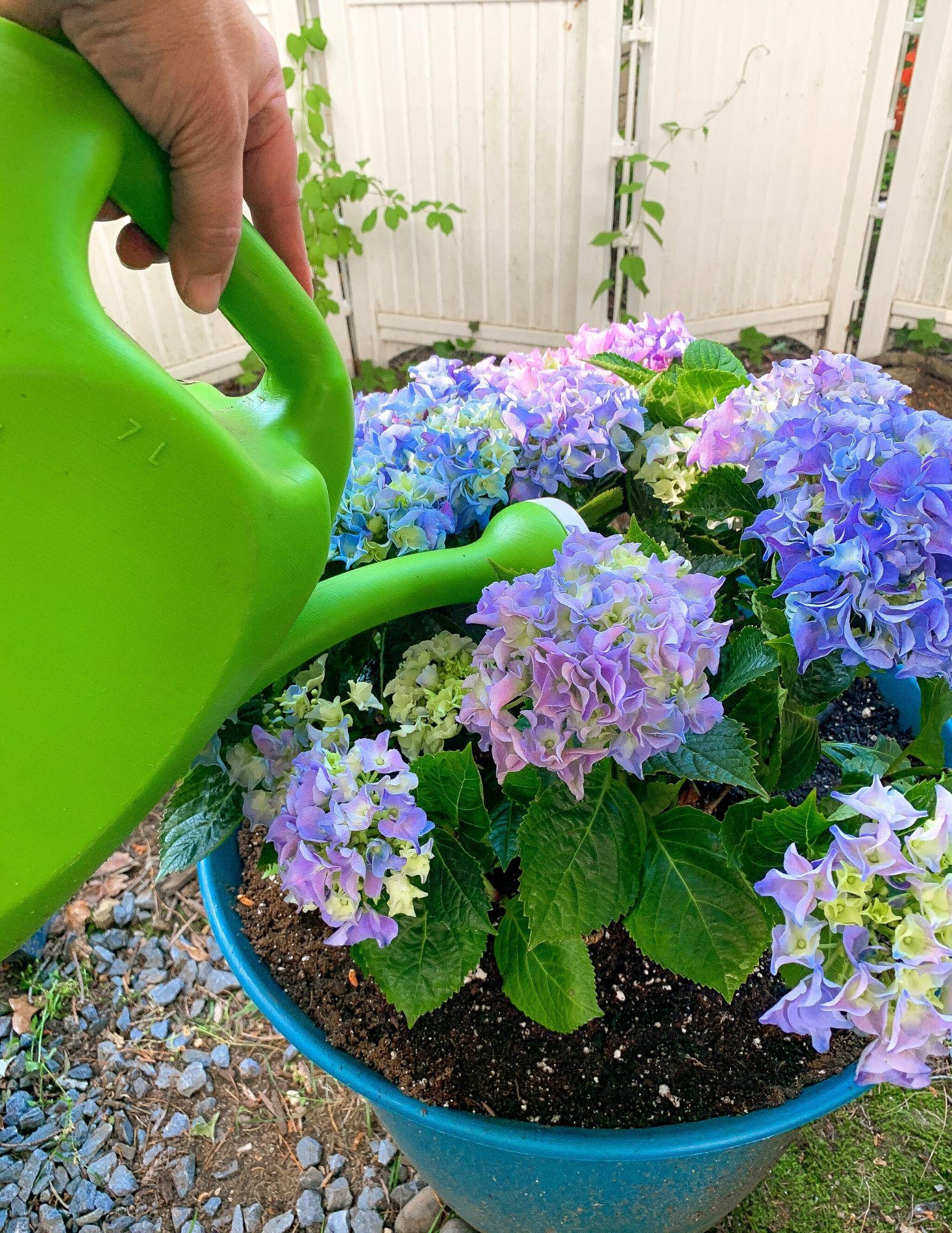 How to Plant Hydrangeas in Pots-26