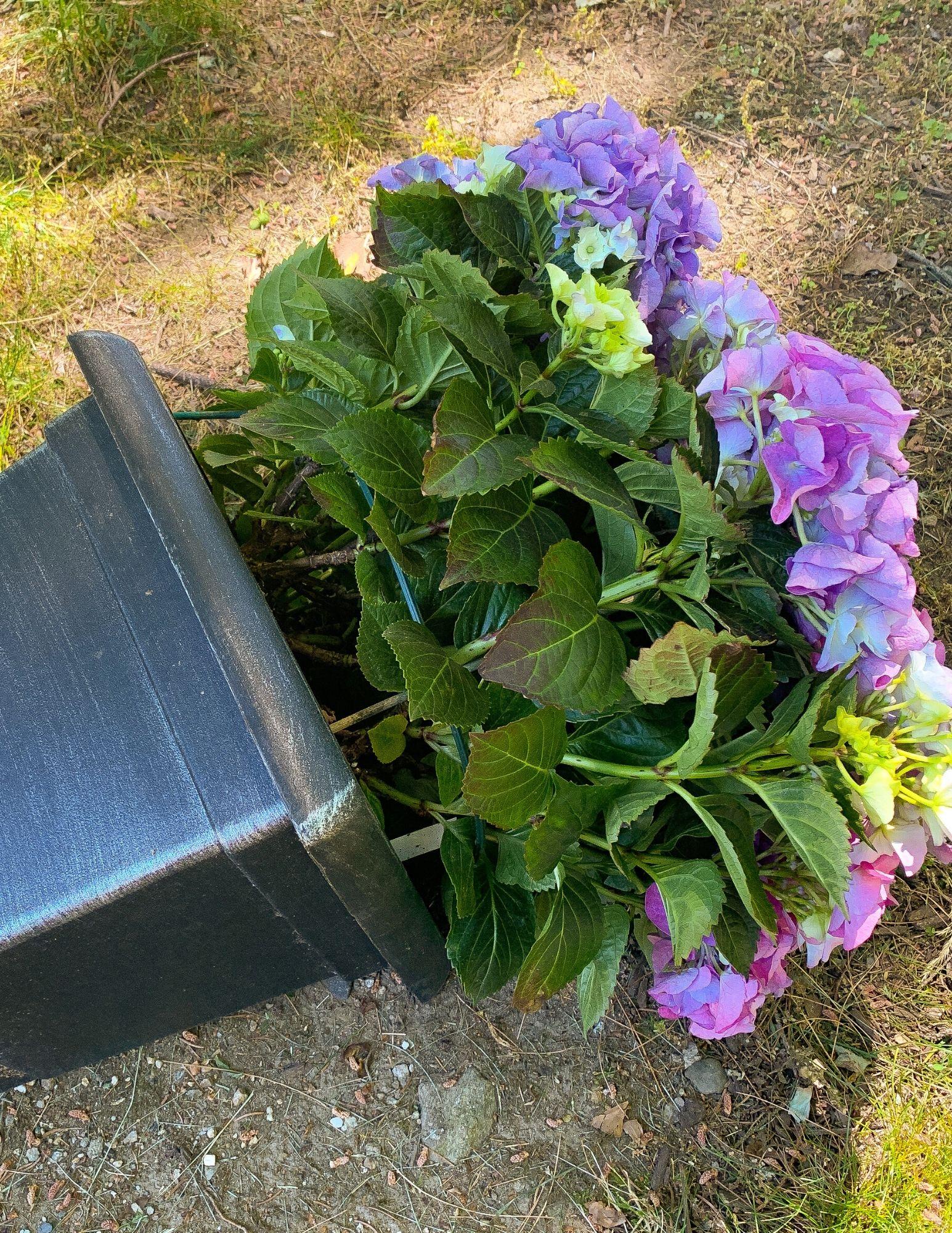 How to Plant Hydrangeas in Pots-5
