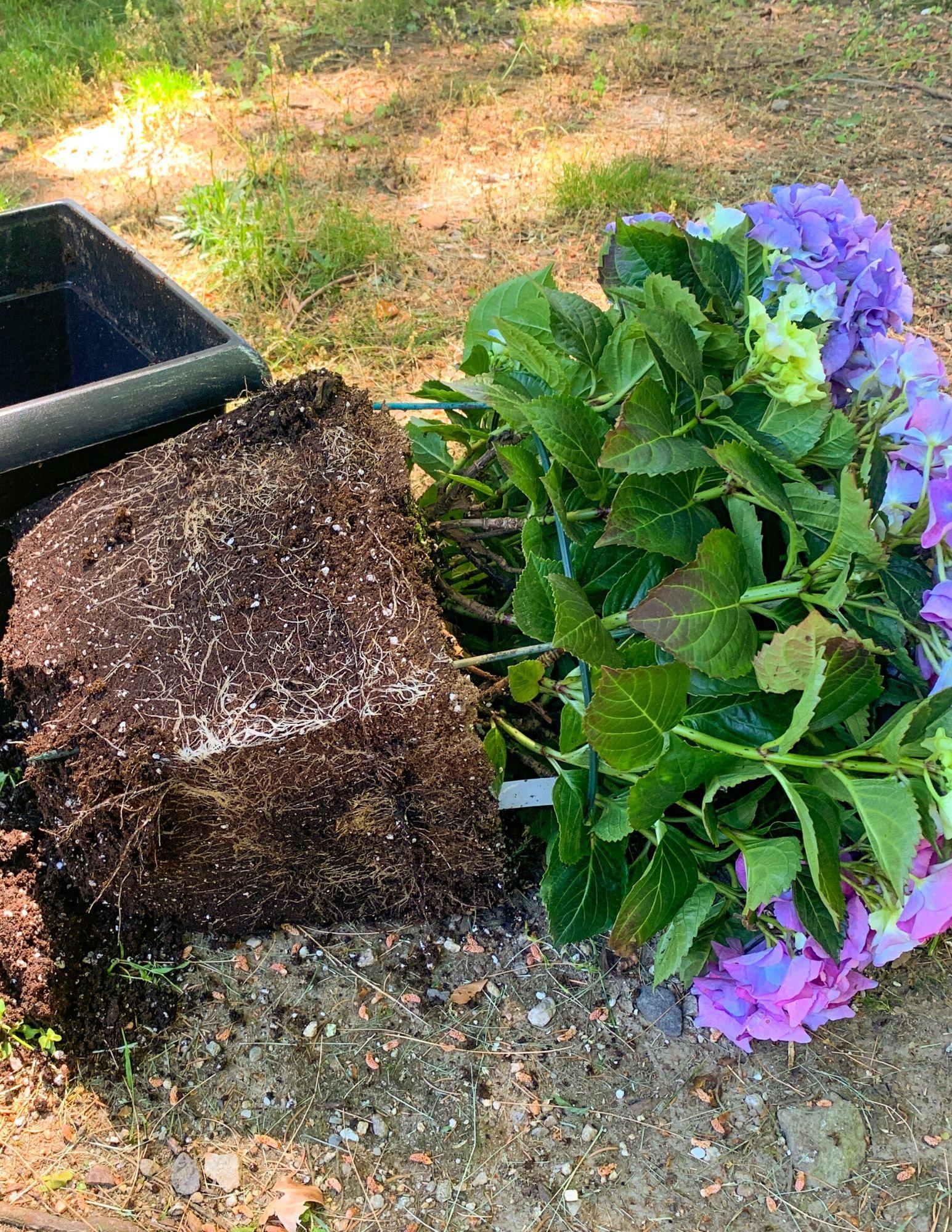 How to Plant Hydrangeas in Pots-6