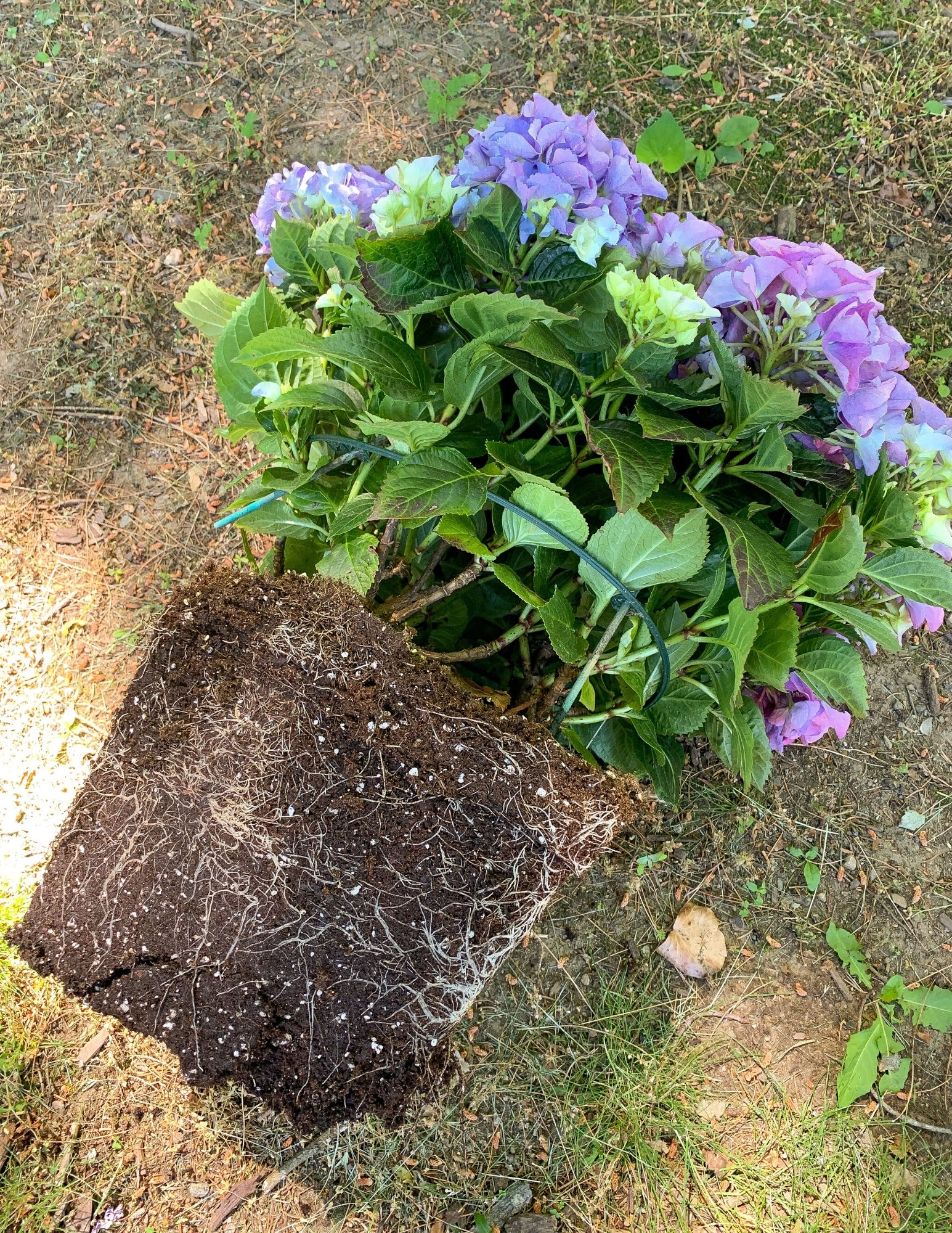 How to Plant Hydrangeas in Pots-7