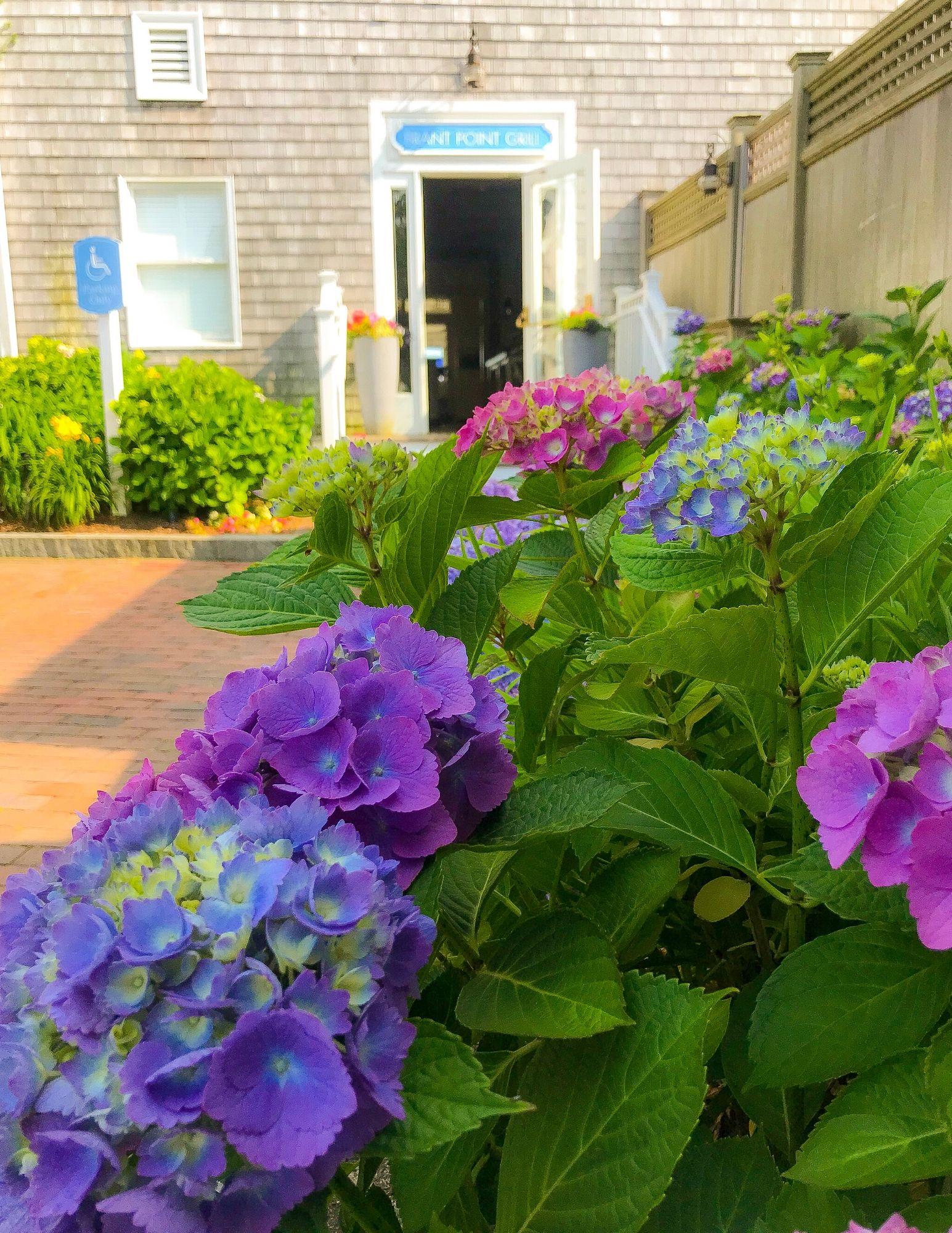 Nantucket Hydrangeas-13