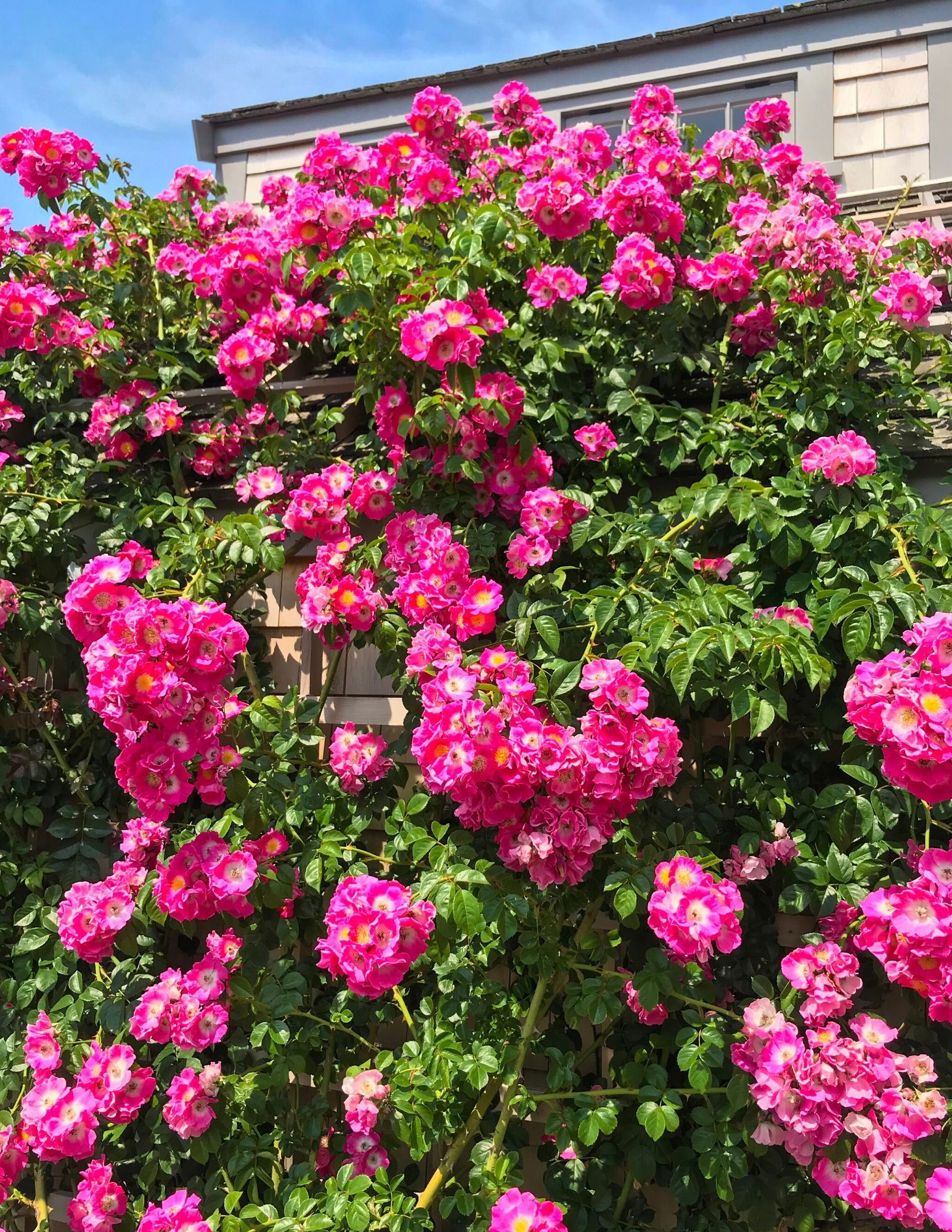 Nantucket Rose Covered Cottages in Sconset-15