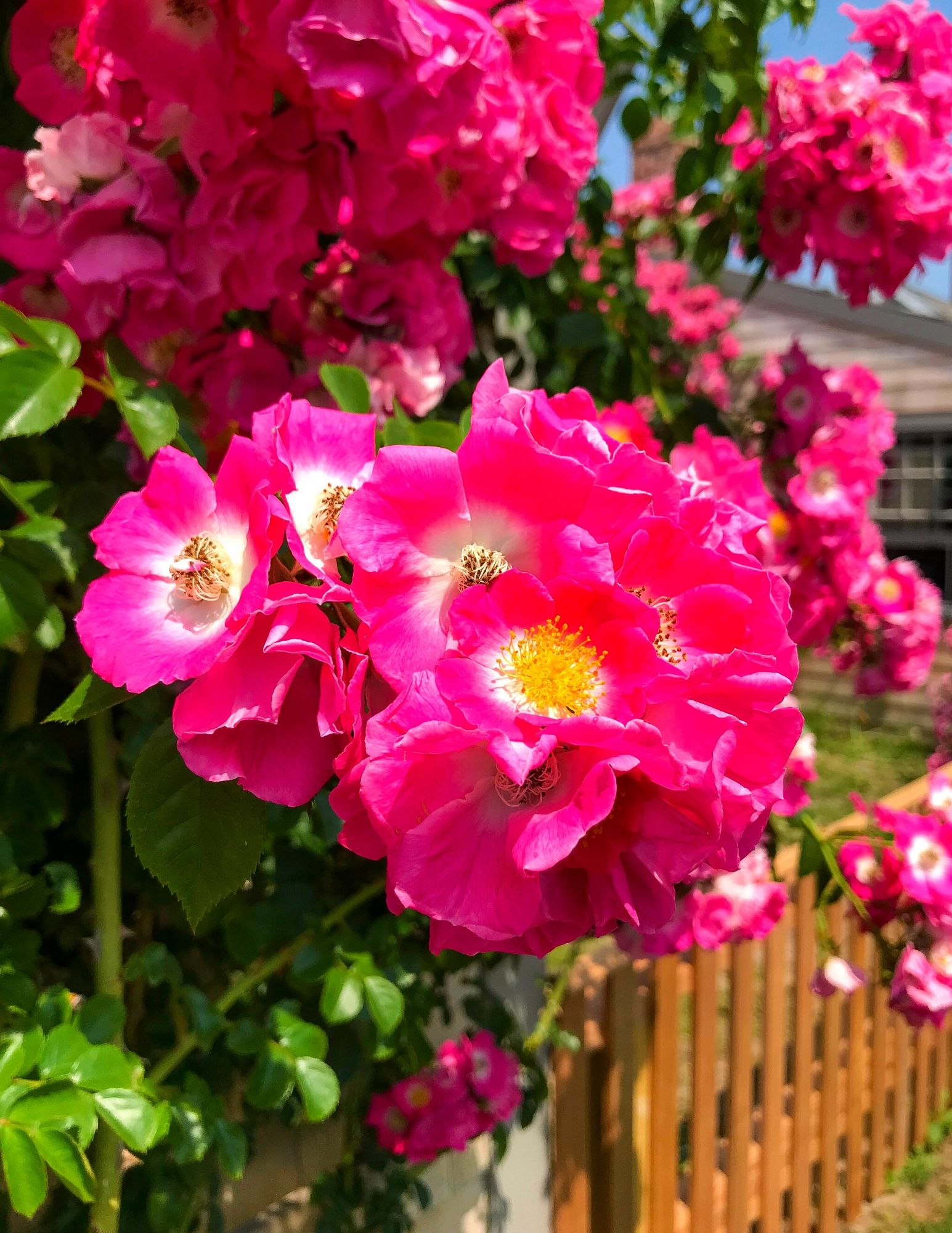 Nantucket Rose Covered Cottages in Sconset-16