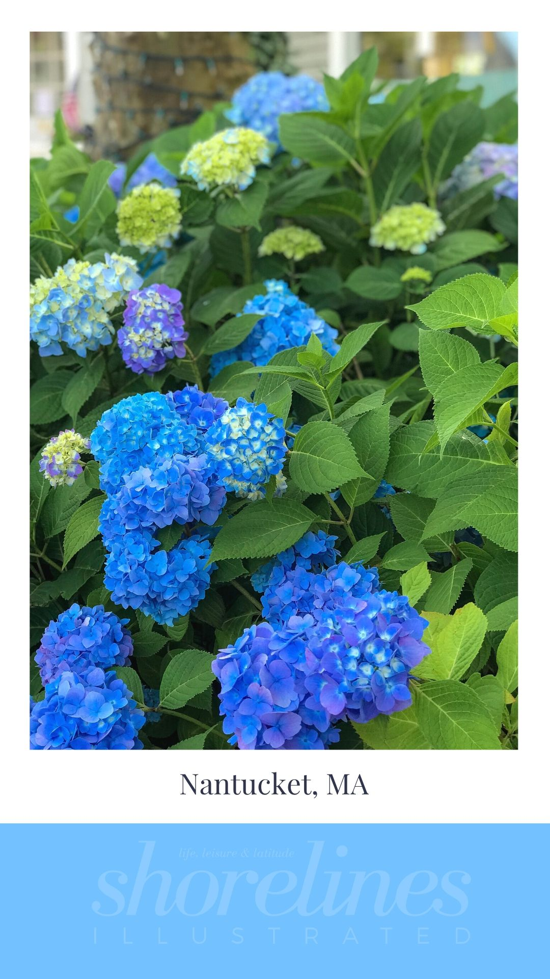 Blue Hydrangeas of New England-1