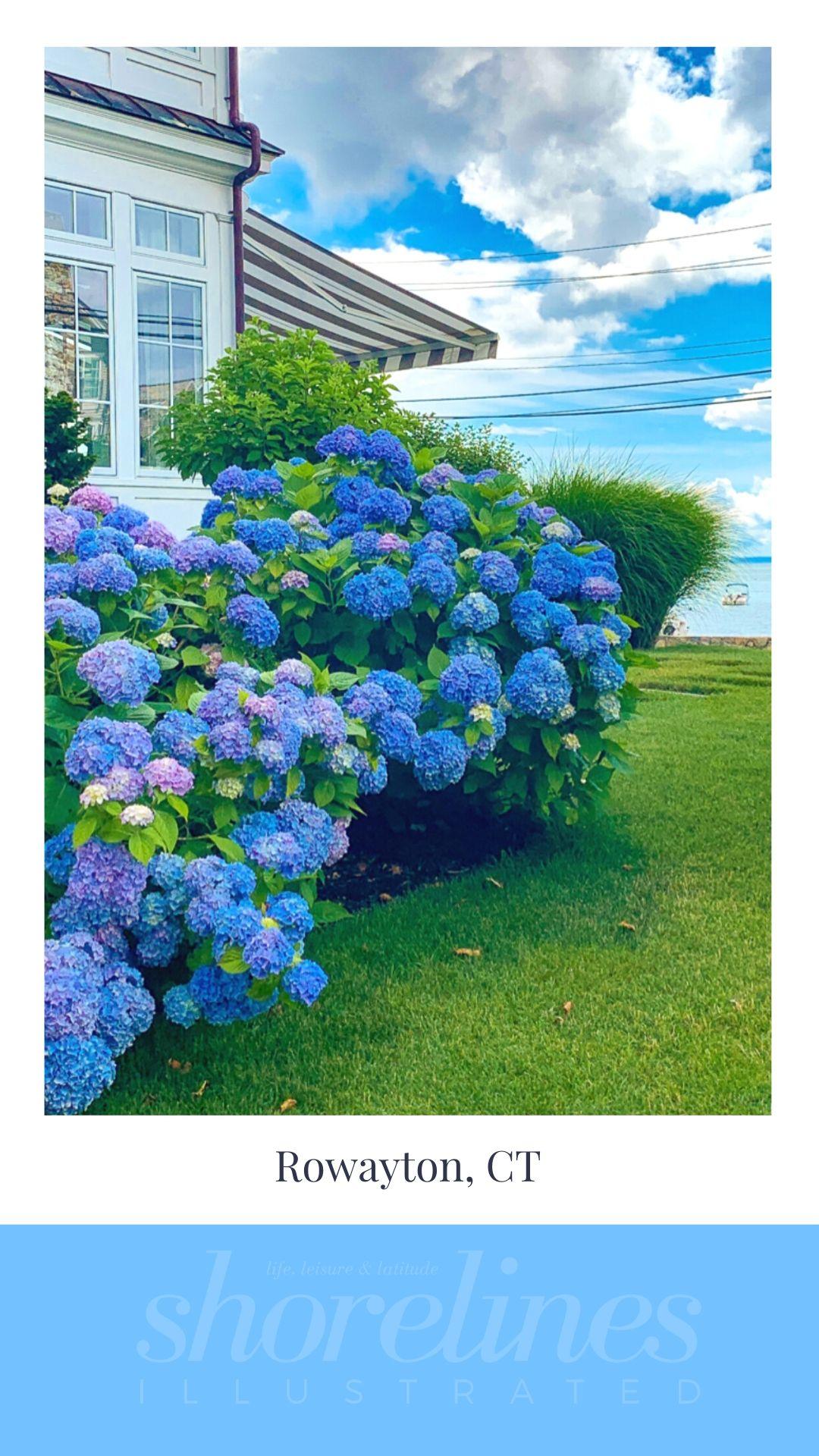 Blue Hydrangeas of New England-12