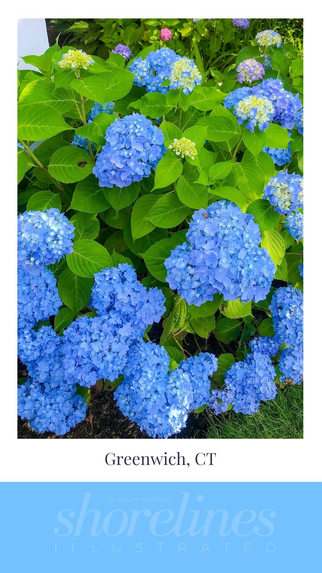 Blue Hydrangeas of New England-13