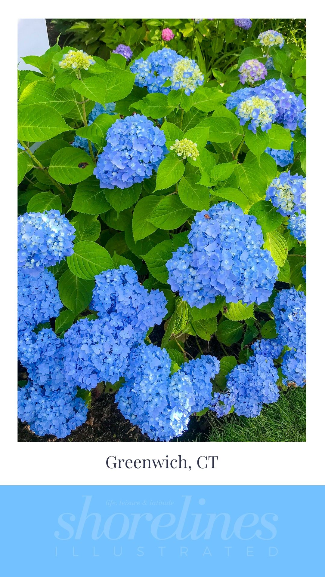 Blue Hydrangeas of New England-13