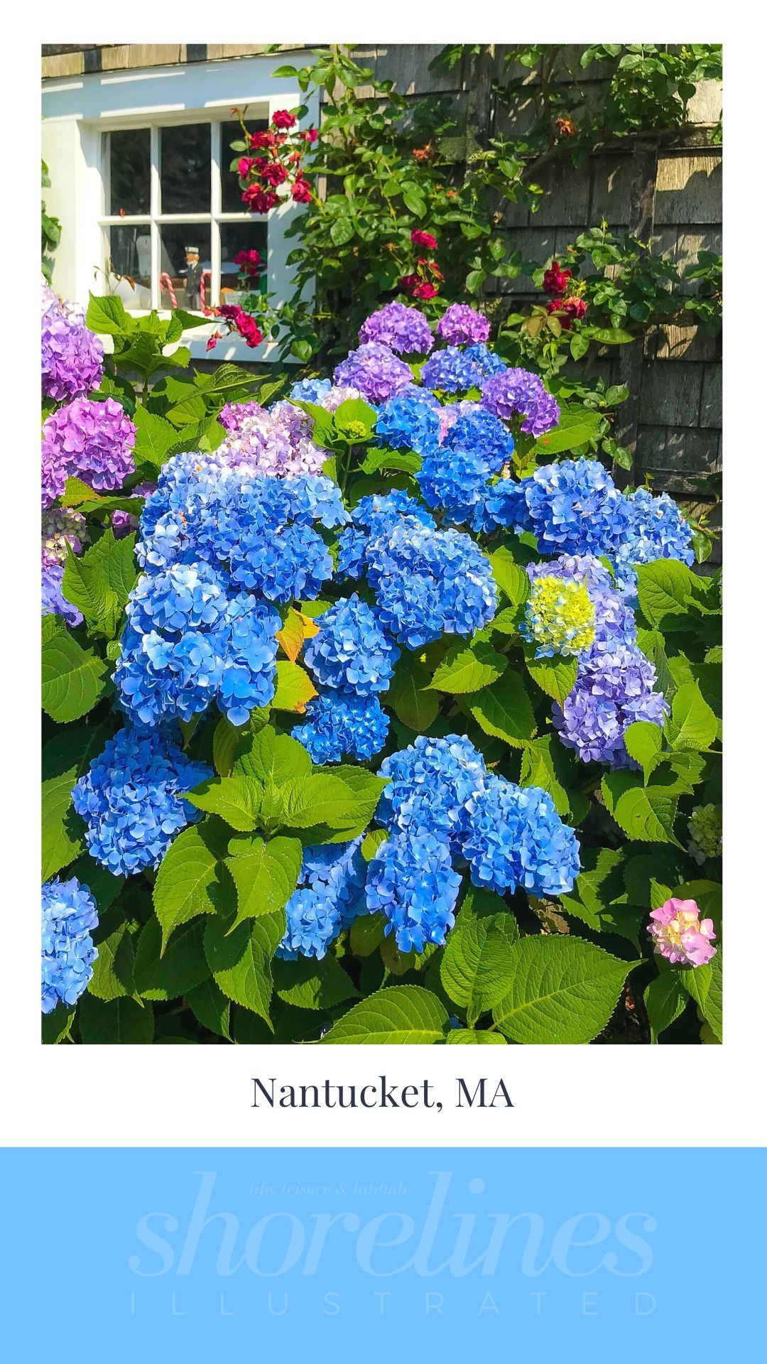 Blue Hydrangeas of New England-15