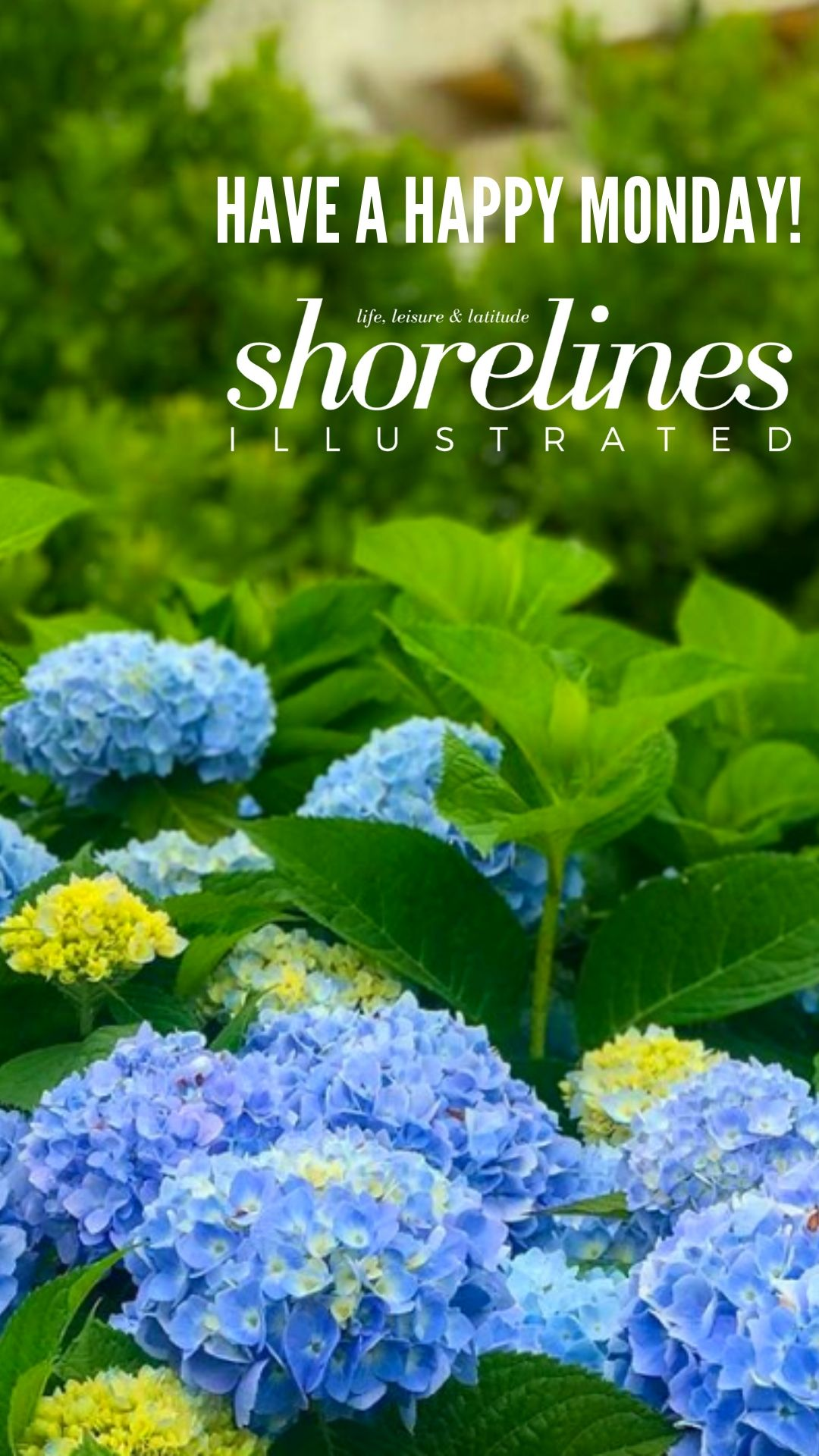 Blue Hydrangeas of New England-19
