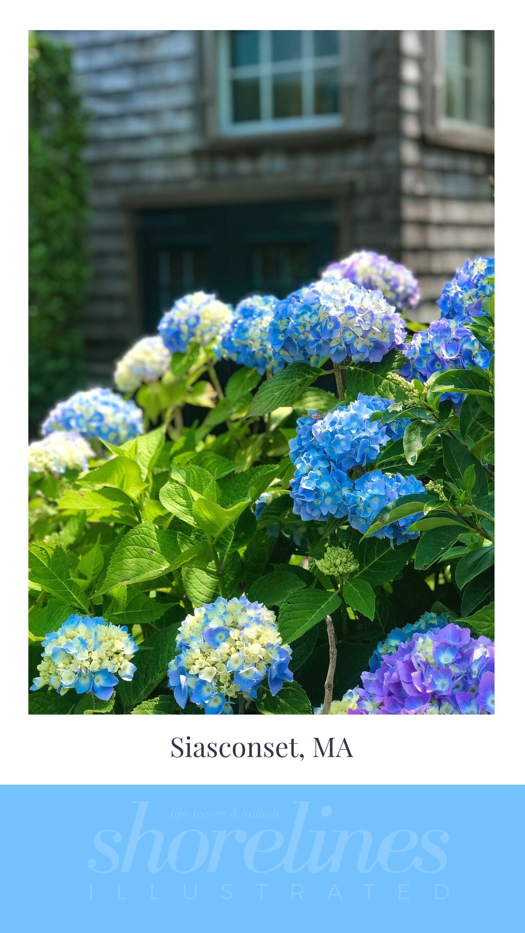 Blue Hydrangeas of New England-2