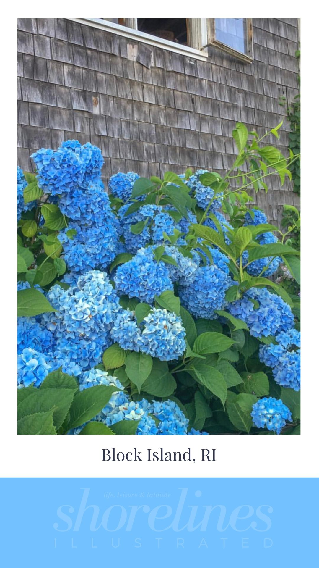 Blue Hydrangeas of New England-5