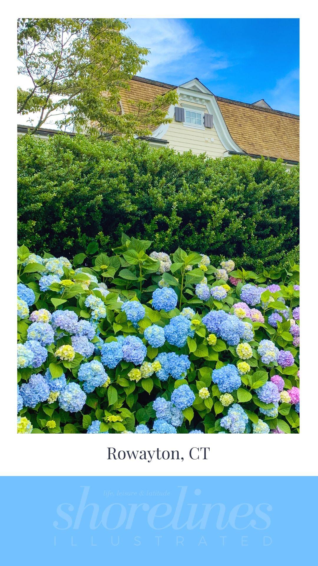 Blue Hydrangeas of New England-6