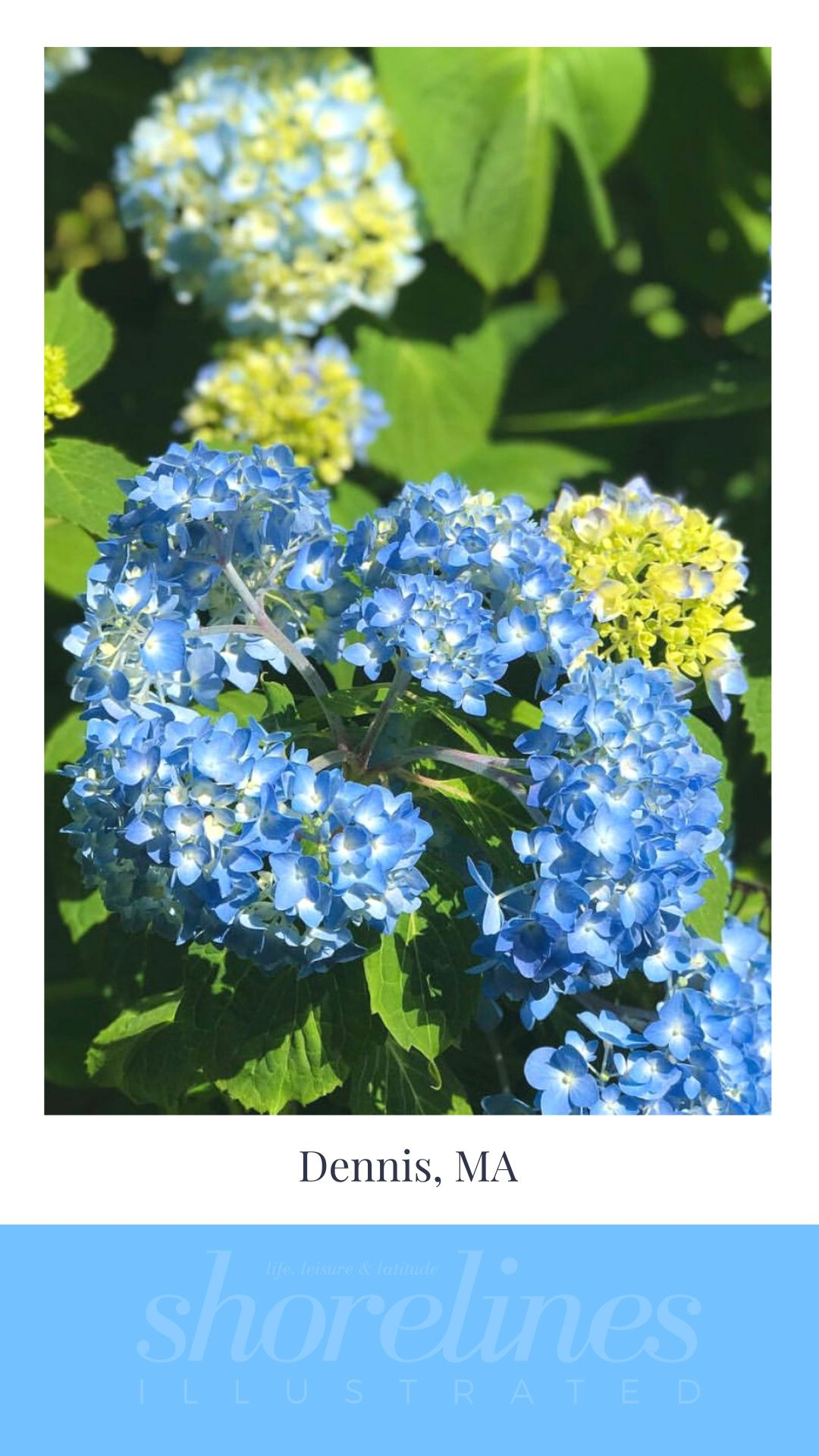Blue Hydrangeas of New England-7