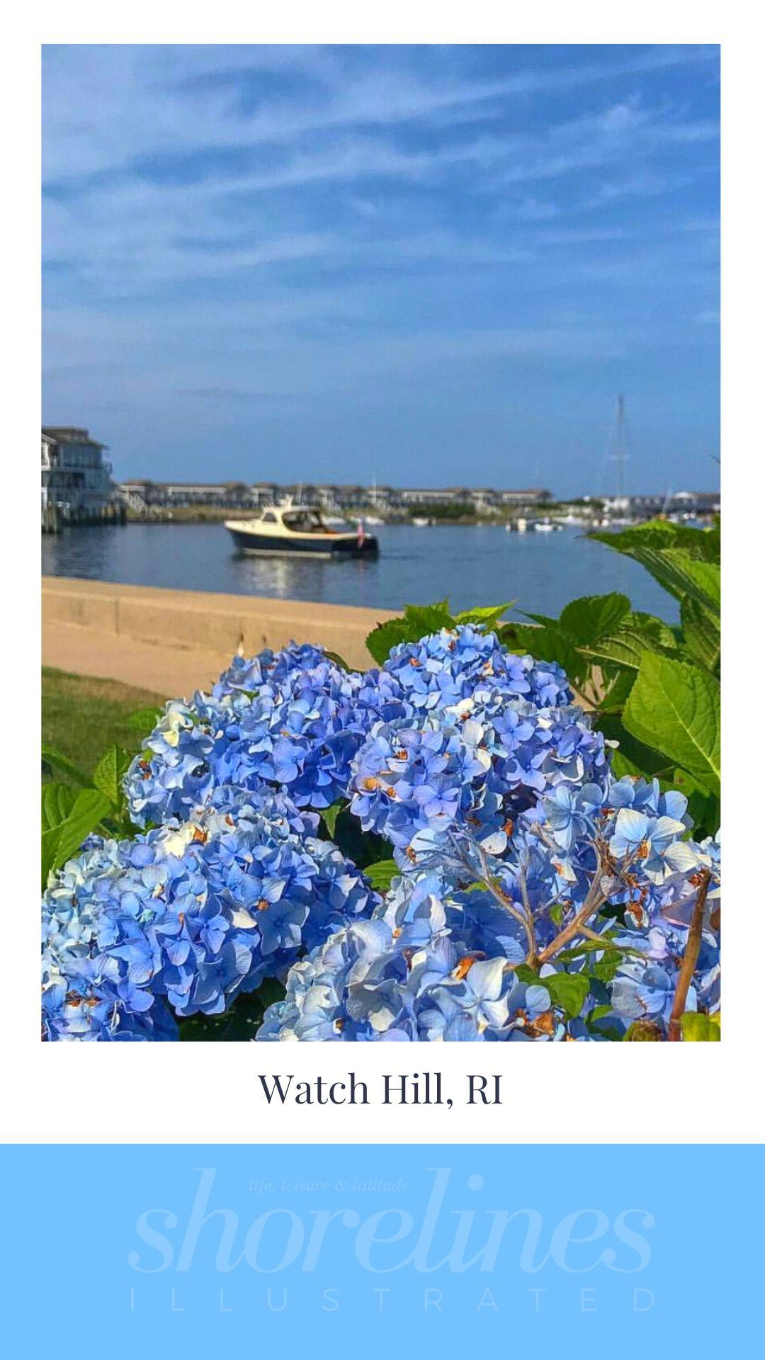 Blue Hydrangeas of New England-8