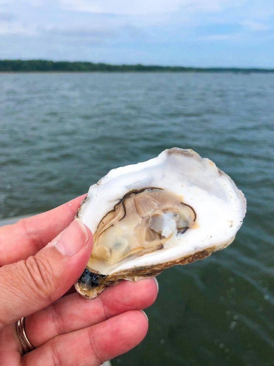 Signature-Oyster-Farm-Tour-Katama-Bay-Oysters-Marthas-Vineyard-1