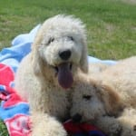 Goldendoodles for Sale in Ohio