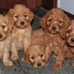 Goldendoodle & Mini Goldendoodles for Sale in Ohio