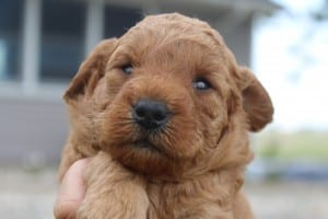 mini goldendoodles for sale in Ohio