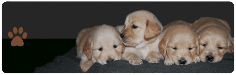 Golden Retriever Puppies for Sale in Wauseon OH