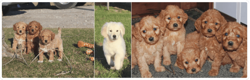 Mini Goldendoodles Breeder & For Sale in Ohio