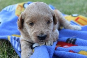 Mini F1B Goldendoodle puppies