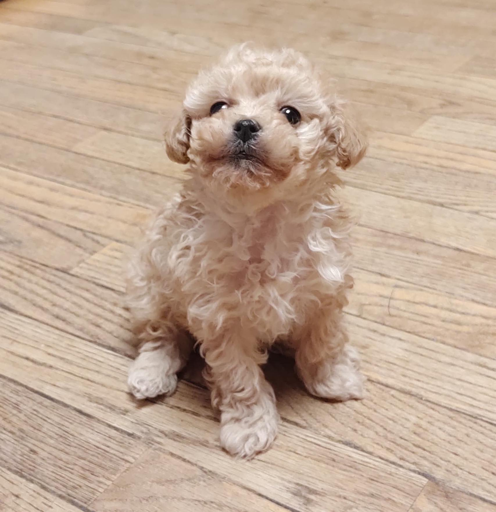 Female Toy Apricot Poodle
