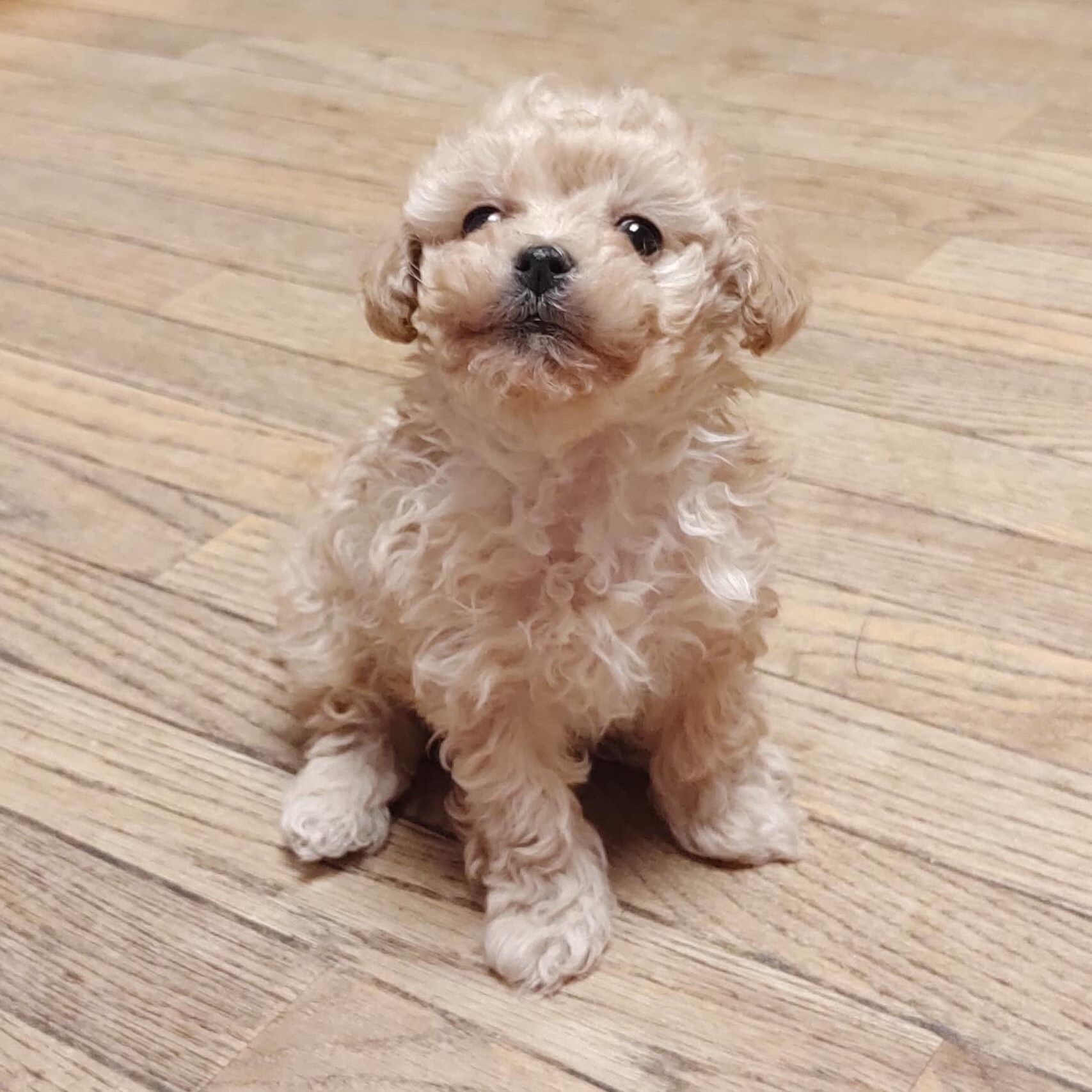 Famale Toy Apricot Poodle