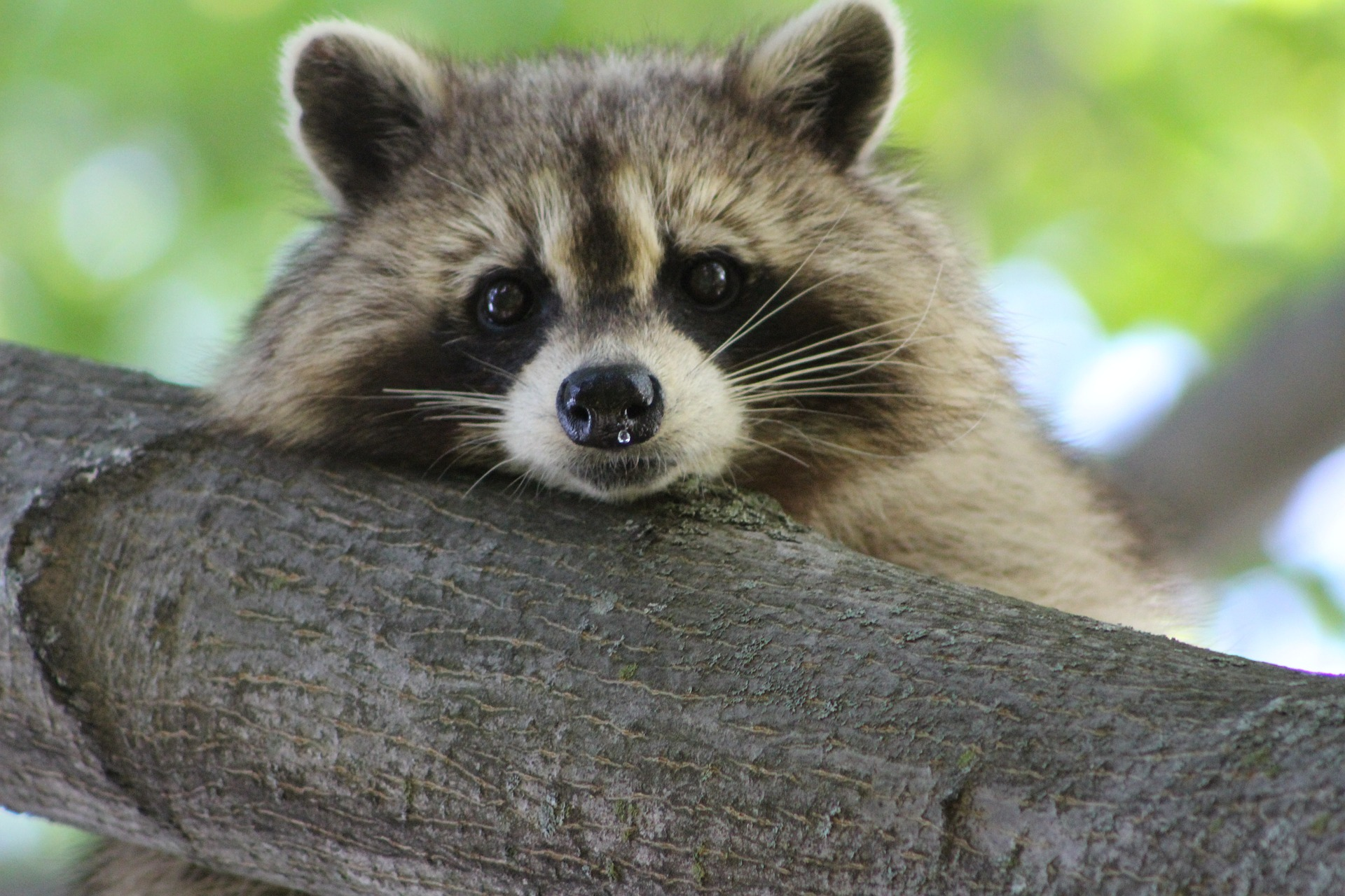 raccoon-840427_1920