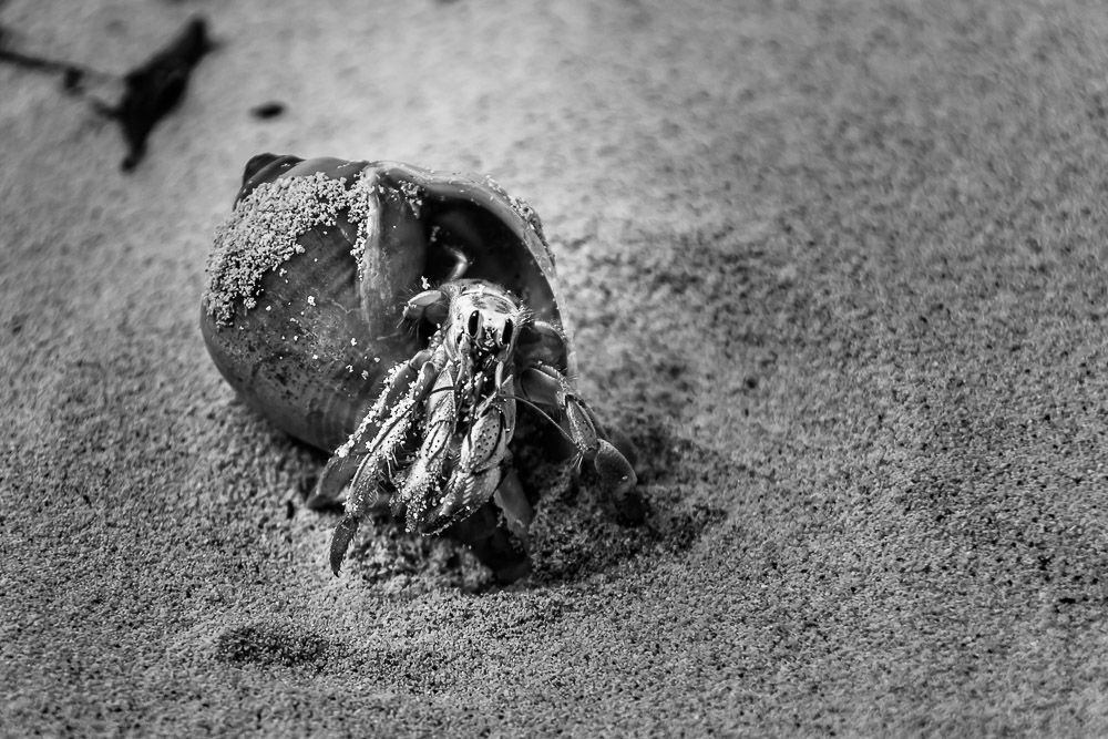 Hermit Crab in Shell