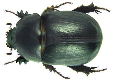 Beetle Sort!